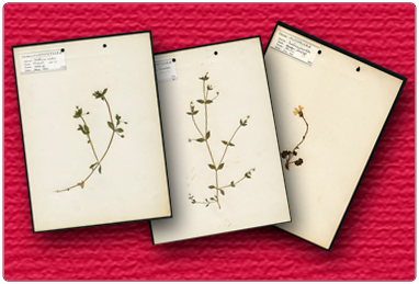 Herbarium Plant Specimens